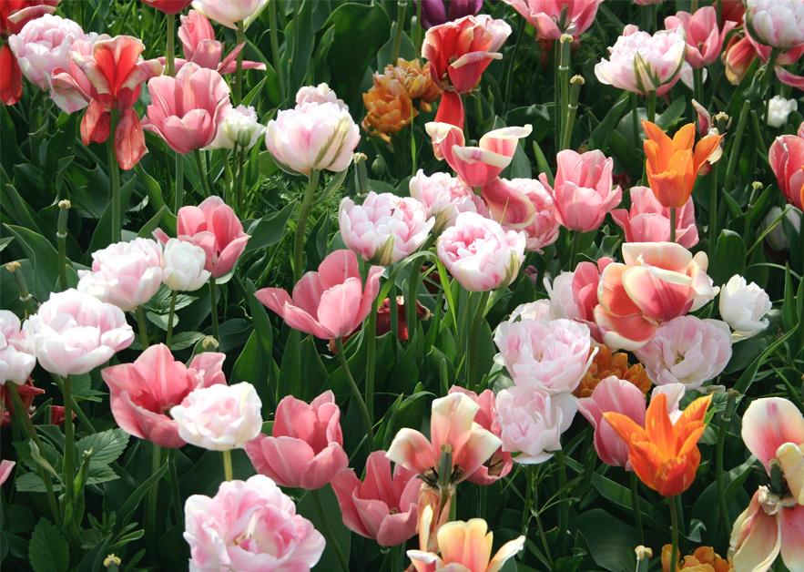 Tulip Garden Cothen 2010